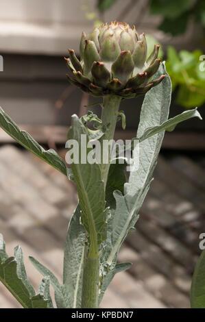 Artichoke flower in the vegetable garden at Lavandula Swiss Italian Farm near Hepburn Springs, a popular weekend - Stock Image