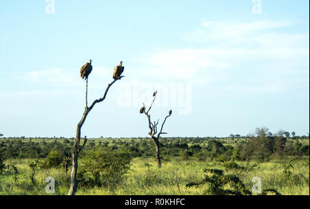 Vultures perched on dead trees in the Satara Camp, Kruger National Park - Stock Image