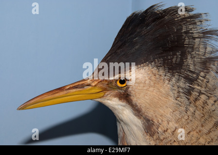 A stuffed Bittern (Botaurus stellaris) mounted by taxidermist Thomas Gunn of Norwich, England. - Stock Image