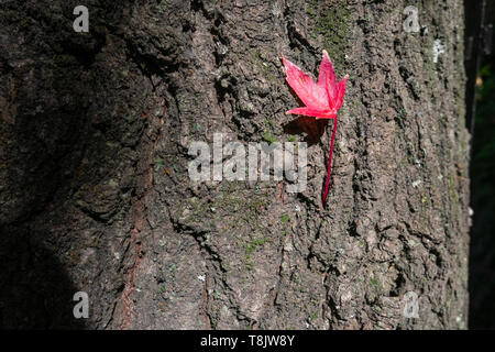Liquidambar leaf with autumn colour on the trunk of a tree - Stock Image