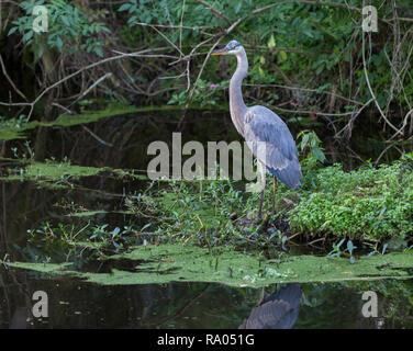 A great blue heron (Ardea herodias) in a Florida wetland. - Stock Image