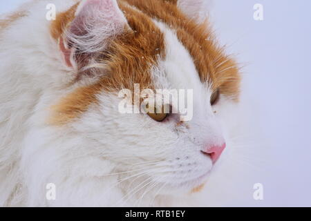 Portrait of a long haired orange and white cat in the snow. - Stock Image