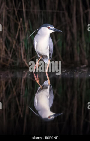 Black-crowned Night Heron (Nycticorax nycticorax)  reflected in a pool at night, Hungary - Stock Image