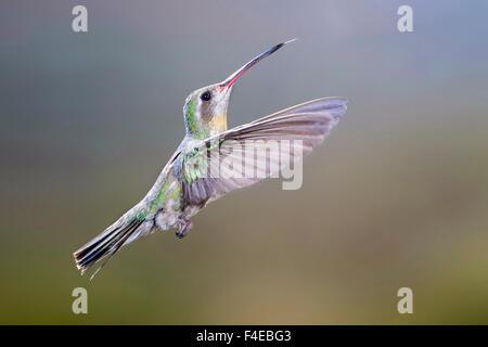 Arizona, Madera Canyon. Female broad-billed hummingbird in flight. Credit as: Wendy Kaveney / Jaynes Gallery / DanitaDelimont.com - Stock Image
