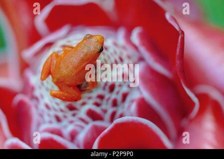 Madagascar, East, Mantella on a porcelain rose (Etlingera elatior) - Stock Image