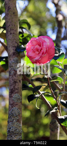 Beautiful pink flower growing from a tree. Surrounded with small green leaves. Photographed in a garden in Funchal, Madeira during a sunny spring day. - Stock Image