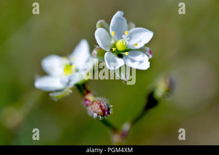 Corn Spurrey (spergula arvensis), close up of a single flower with another in the background. - Stock Image