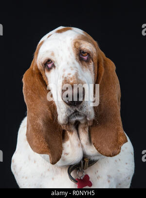 Close-up of a  Basset Hound staring into camera quizzically - Stock Image