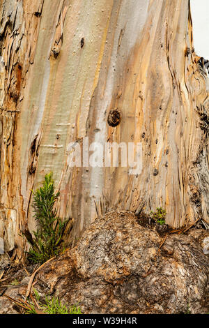 The bark of a Eucalyptus tree near the base - texture or background - Stock Image