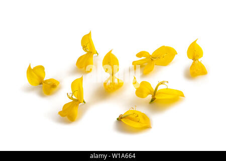 broom flowers isolated on a white background - Stock Image
