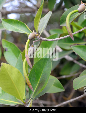 Red Mangrove (Rhizophora mangle) propagules with hypocotyls hanging below the fruiting body. Playa Isabela, Puerto - Stock Image