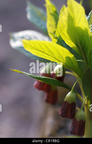 Red blossom Henbane bell (Scopolia carniolica) in spring time. - Stock Image