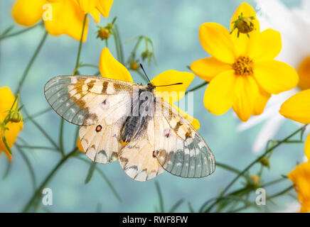 Clodius parnassian butterfly on a flower with wings spread - Stock Image