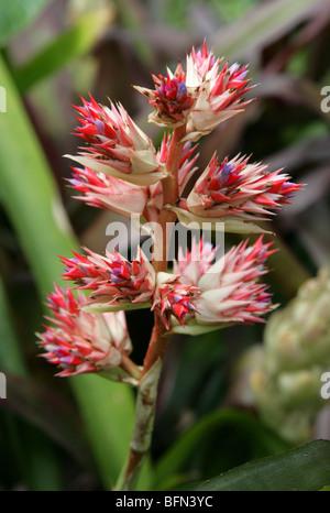 Hohenbergia stellata, Bromeliaceae, Venezuela, Brazil, South America - Stock Image