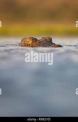 Nile crocodile (Crocodylus niloticus), Zimanga private game reserve, KwaZulu-Natal, South Africa - Stock Image