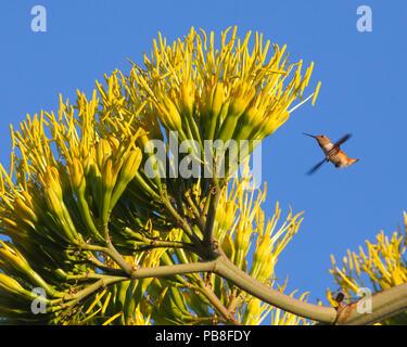Young Rufous hummingbird (Selasphorus rufus) visiting Agave flowers. Pasadena, California, USA, July. - Stock Image