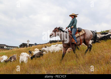 CALGARY, CANADA - AUG 12, 2018: A rancher shepherding goats in an effort to eat up weeds in a Calgary park as part of the city's targeted grazing plan - Stock Image