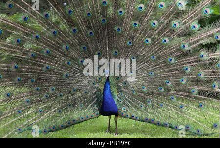 (Captive) Indian Peafowl (Pavo cristatus) displaying - Stock Image