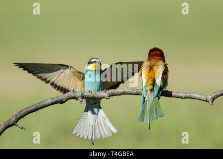 European bee-eaters, Latin name Merops apiaster, rear view of one perched and front view of another with wings spread about to land - Stock Image