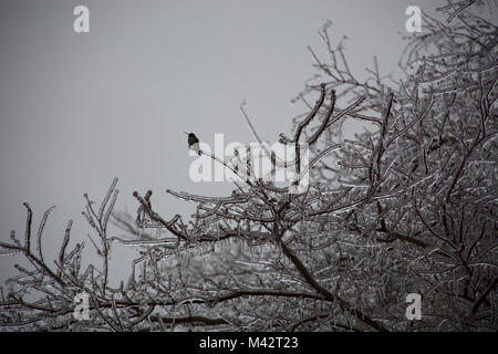 Hummingbird sitting on branches after ice storm in Mission, British Columbia - Stock Image