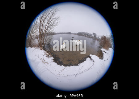 Long Island, New York, USA. 20th Feb, 2019. During snowfall, 2 swans spread wings while swimming at Mill Pond Park on Long Island. 180 degree fisheye view of Nassau County public park. Credit: Ann E Parry/Alamy Live News - Stock Image