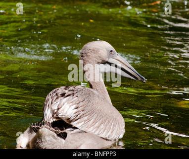 Baby pelican - Stock Image