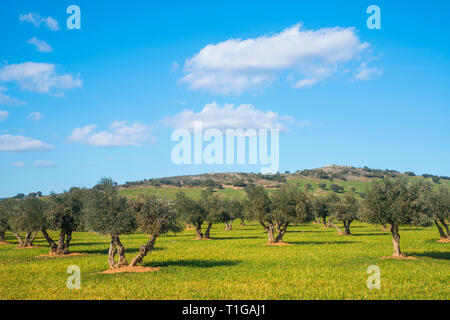 Olive grove. Toledo, Spain. - Stock Image