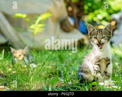 Cute domestic short-haired kitten is hissing. Selective focus on its head. A contour of another kitty is visible in a blurry background. - Stock Image