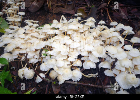Mushrooms sprouting in rainforest leaf litter during wet season, Crystal Cascades, Cairns, Queensland, Australia - Stock Image