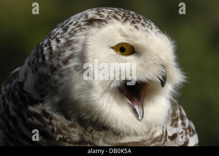 One-year-old snow owl 'Eyolfoer' emits a cry in the Wildpark Eekholt near Großenaspe, Germany, 05 September - Stock Image