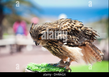 owl on perch in sunshine - Stock Image
