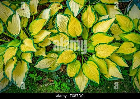 Italy Piedmont Turin Valentino botanical garden - Liliaceae - Hosta ' Orange marmalade' - Stock Image