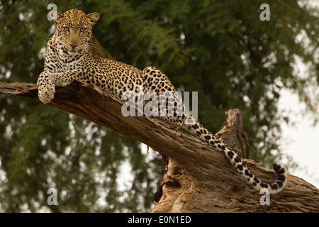 African Leopard lying in tree, Samburu Game Reserve, Kenya, Africa (Panthera pardus) - Stock Image