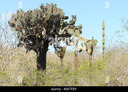 Plants of opuntia or prickly pear (Opuntia megasperma) grow among lava boulders and thorny shrubs in the arid zone - Stock Image