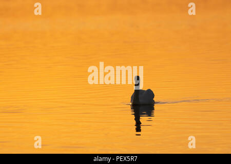 Mute swan, Cygnus olor, mid summer daybreak on an Oxfordshire lake. - Stock Image