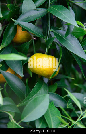 Citrus reticulata bilda Mandarin Orange close up of fruit - Stock Image