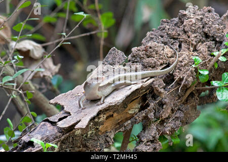 A Mangrove Skink (Emoia atrocostata) on a rotting log in an esturine mangrove area to the West of Bangkok, Thailand - Stock Image