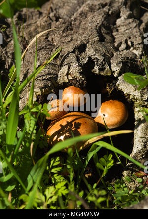 Rounded golden mushrooms (Gymnopilus suberis) growing inside of a dead cork tree log fallen into a green weeds field. Arrabida mountains, Portugal. - Stock Image