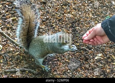 Close-up of a grey squirrel eating a nut it had taken from a man's hand. - Stock Image