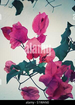 Pink bougainvillea flowers - Stock Image