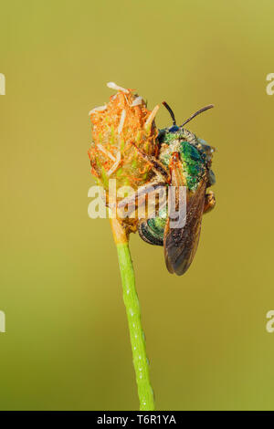 A torpid female Brown-winged Striped-Sweat Bee (Agapostemon splendens) perches on vegetation in the early morning. - Stock Image