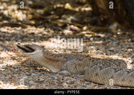 A Western Diamondback rattlesnake (Crotalus atrox) swallowing a Morning Dove (Zenaida macroura) that it caught. (Arizona) - Stock Image