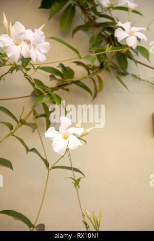 White Rose Dipladenia Vine Against Wall - Stock Image