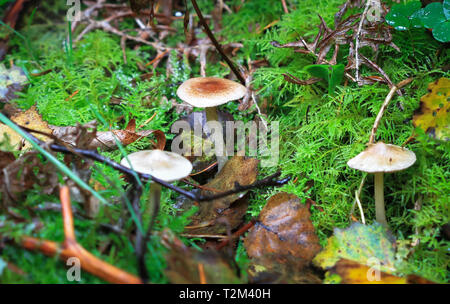 Wild mushrooms growing in Nesscliffe, Shropshire, England. - Stock Image