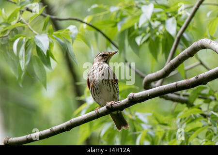 Redwing (Turdus iliacus, musicus). Russia, Moscow - Stock Image
