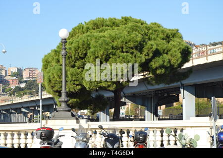 Genoa, Italy - October 13, 2018: motorcycle Parking in the foreground and one huge old pine tree in the background of the bridge. - Stock Image
