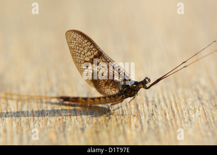 Mayfly drying it's wings - Stock Image