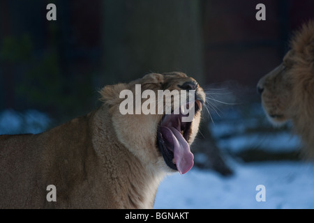 Asiatic lioness yawning - Stock Image