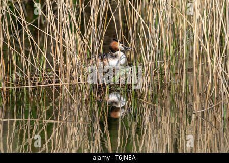 Great crested grebe (Podiceps cristatus) incubating eggs and sitting on nest hidden amongst marshland reeds - Stock Image