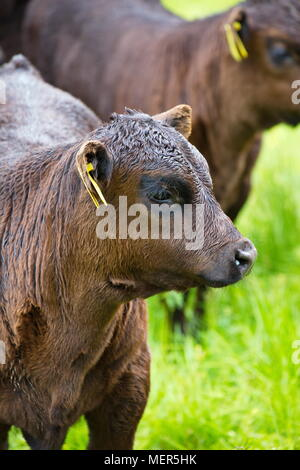 Brown cows and calves on a meadow in summer - Stock Image